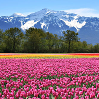 Tulip Field In Canada Jigsaw ..
